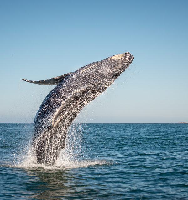 Hump Back Whale Breaching